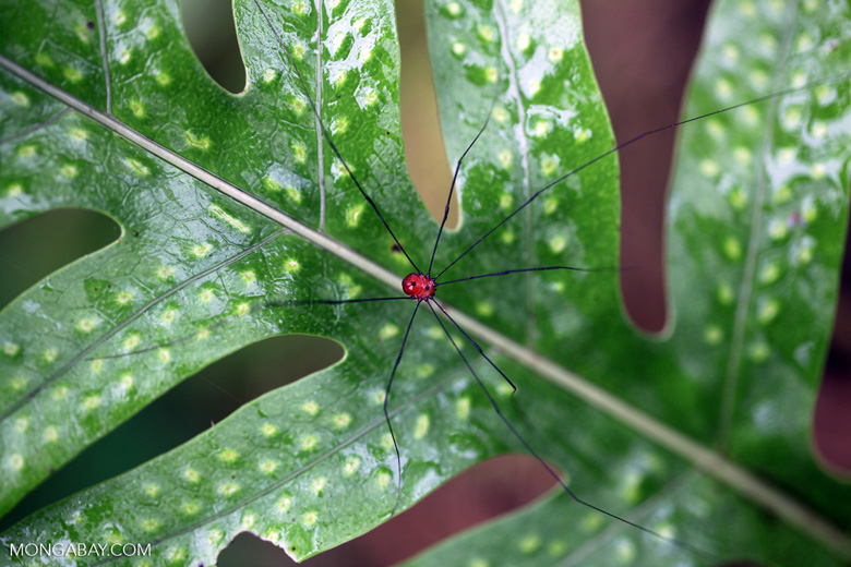 Una araña del orden Opiliones, conocidas como patonas por sus largas piernas. Sus más de 6500 especies se encuentran en todos los continentes, salvo en la Antártica. Foto: Rhett A. Butler