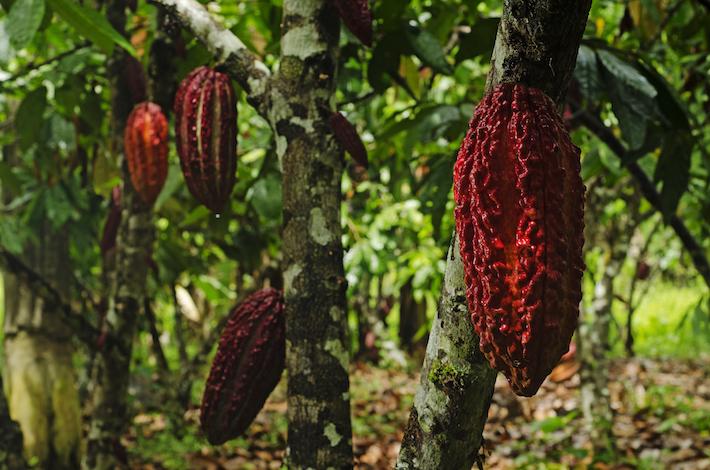Cacao que crece en la zona de amortiguamiento del PN Río Abiseo. Foto: Christian Quispe-Sernanp.
