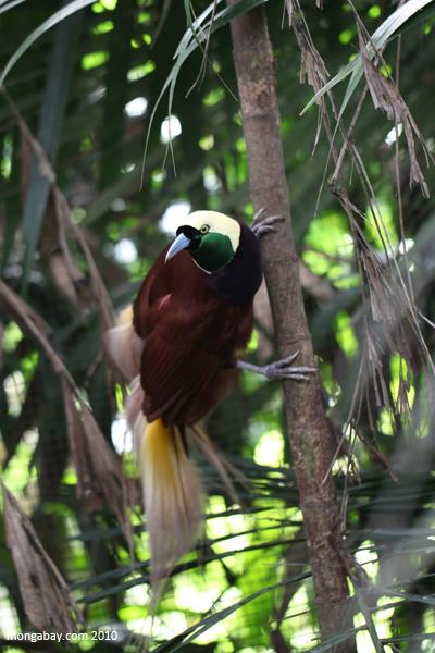 """El ave del paraíso mayor (Paradisaea apoda) se encuentra en Nueva Guinea y las islas Aru, Indonesia. Su nombre científico, apoda (sin piernas), se debe a que a los primeros especímenes que llegaron a Europa les habían quitado estos miembros. Así, se creó la leyenda de que, al venir del paraíso, se mantenían volando hasta su muerte. Su estado de conservación es """"Preocupación menor"""". Foto: Rhett A. Butler"""