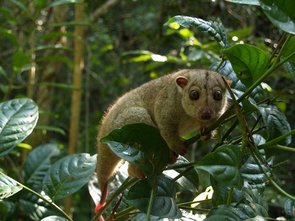 """El cuscús gris (Phalanger orientalis) originalmente habitaba solamente Nueva Guinea, pero se ha extendido a varias islas de Oceanía e Indonesia. Su estado de conservación es """"Preocupación menor"""". Foto: Rhett A. Butler"""