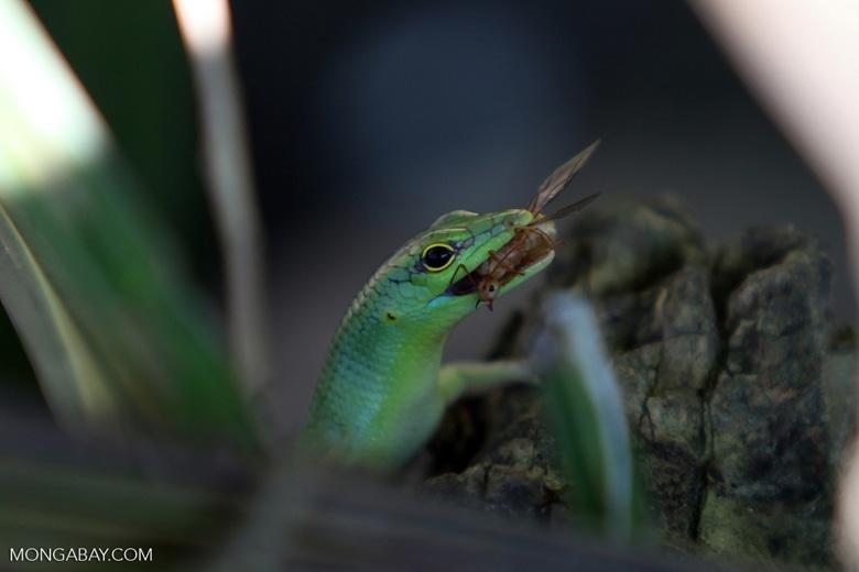 El lagarto o escinco de sangre verde (Prasinohaema virens) es una especie endémica de Nueva Guinea. El extraño color de su sangre, que se extiende a músculos, huesos y hasta la lengua, se debe a la alta concentración del pigmento biliverdina. Foto: Rhett A. Butler