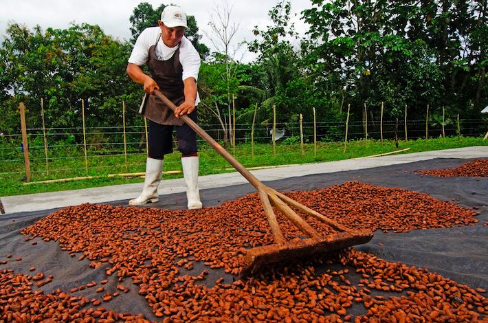 El trabajo de secado del cacao es uno de los más cruciales para obtener un producto idóneo. La gran parte del cacao que se obtiene en San Martín aún sale del país como insumo. Crédito: Sernanp.