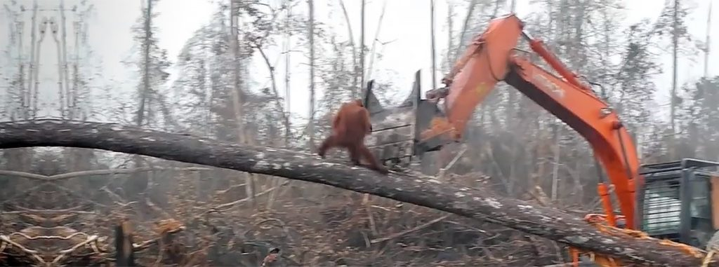 El video muestra un orangután corriendo a lo largo del tronco de un árbol que una máquina excavadora acaba de derribar. Foto: IAR