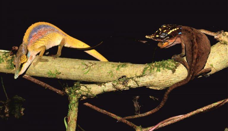 Cuando un macho Calumma uetzi (izquierda), se encuentra con una hembra poco receptiva (derecha), el estado de ánimo de los animales se puede tornar rápidamente agresivo. Mientras que el macho muestra sus colores, el color de la hembra se oscurece y desarrolla patrones brillantes contrastantes en su cabeza, amenazando al macho con la boca abierta. Imagen de Frank Glaw (ZSM / LMU)