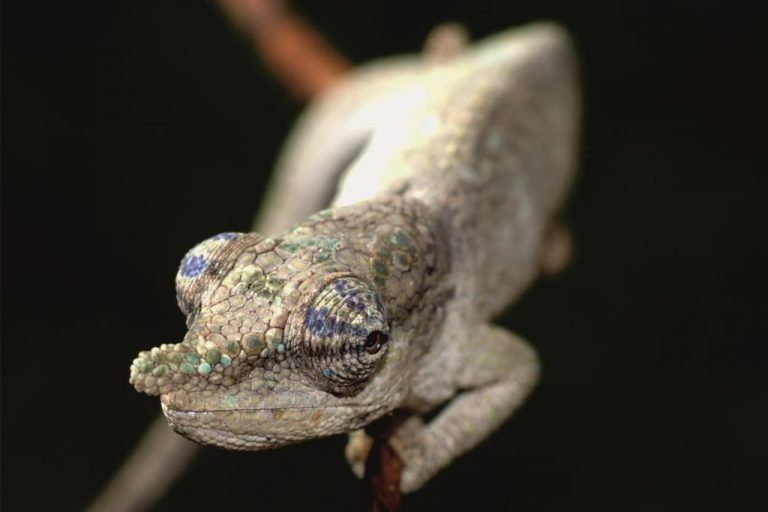 La nueva especie de camaleón Calumma juliae encontrada en un pequeño fragmento de bosque en el este de Madagascar. Imagen de David Prötzel (ZSM / LMU)