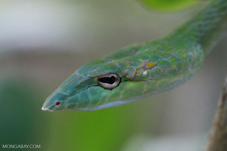 Un acercamiento al rostro de la Ahaetulla prasina, conocida como la serpiente látigo oriental. Esta especie tiene una amplia distribución en Asia. Foto: Rhett A. Butler / Mongabay