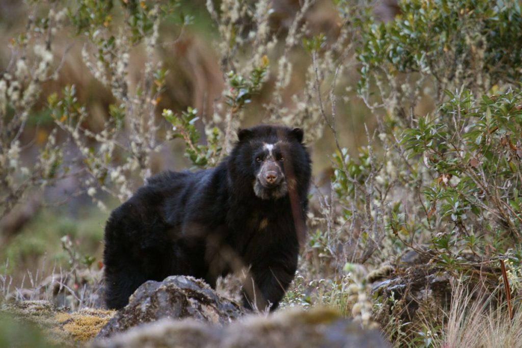 Se desconocen los datos sobre las poblaciones de grandes vertebrados en las áreas protegidas colombianas. Solucionar este problema requiere de tiempo y de un gran gasto por parte del Estado. Foto: Robert Wallace / WCS
