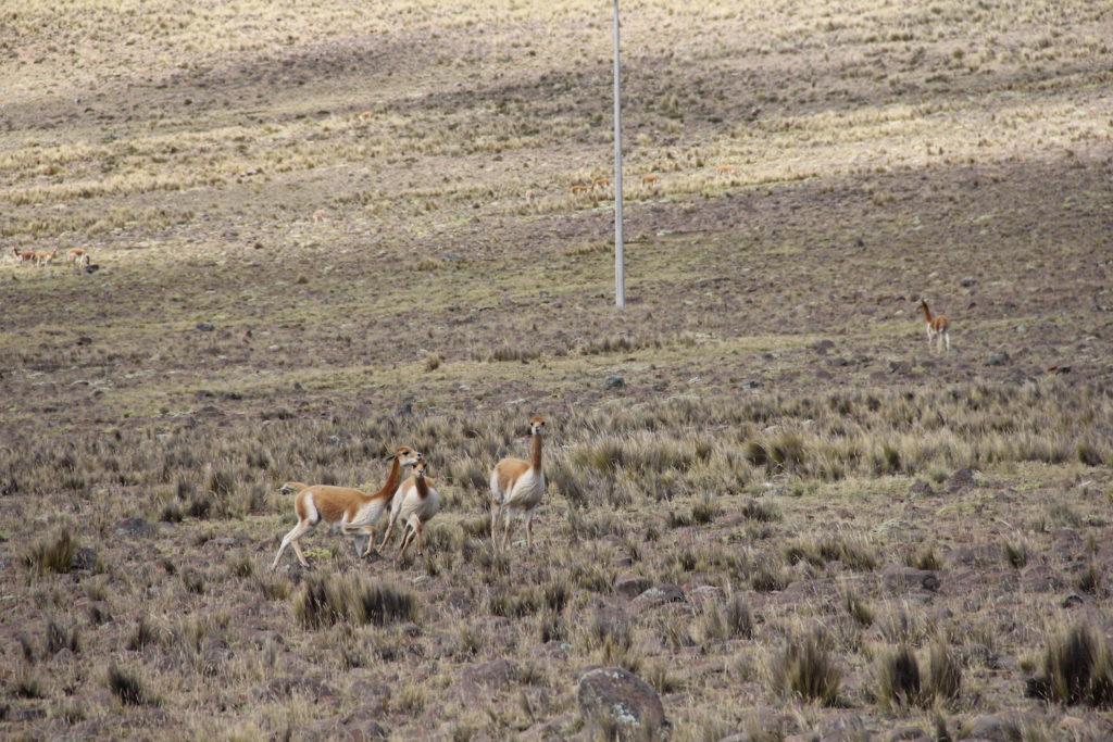 Las cinco mil vicuñas que existen en la reserva transitan por los 65 kilómetros cuadrados de la reserva, situada en el distrito ayacuchano de Lucanas, a 4100 metros de altura. Foto: Vanessa Romo /Mongabay Latam.