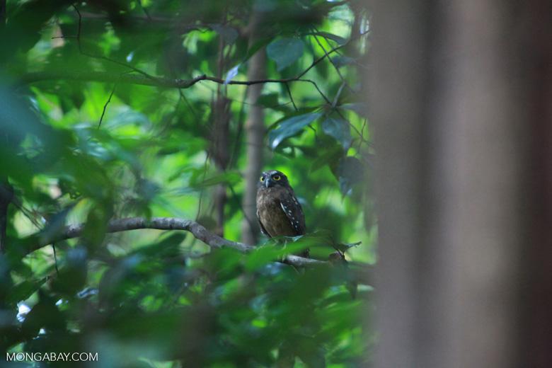 El autillo de Célebes (Otus manadensis) es un búho endémico de las selvas de la isla. Foto: Rhett A. Butler / Mongabay