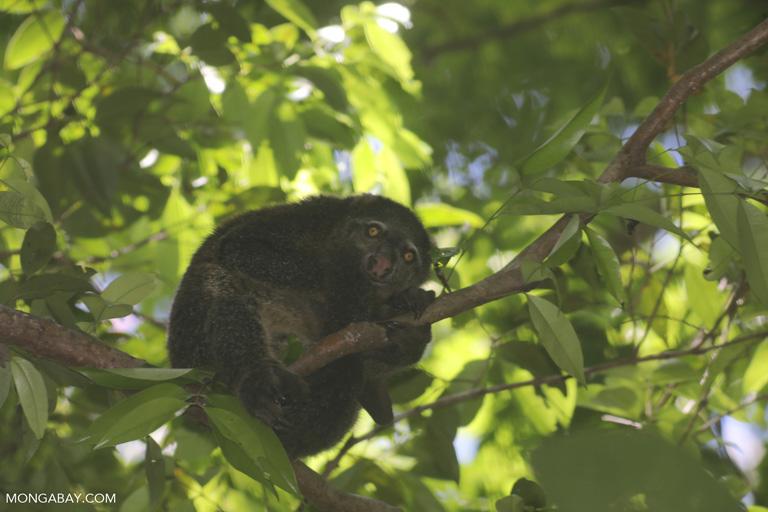 El cuscús ursino de Célebes (Ailurops ursinus) es un marsupial endémico a la isla y otras cercanas. Su estado de conservación es Vulnerable, debido a la caza furtiva, el tráfico de fauna y la deforestación. Foto: Rhett A. Butler / Mongabay