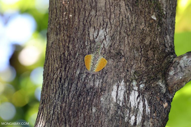 """Un dragón volador (Draco volans) exhibiendo sus """"alas"""" en un árbol. Son nativos de los bosques tropicales del Suroeste de Asia. Foto: Rhett A. Butler / Mongabay"""