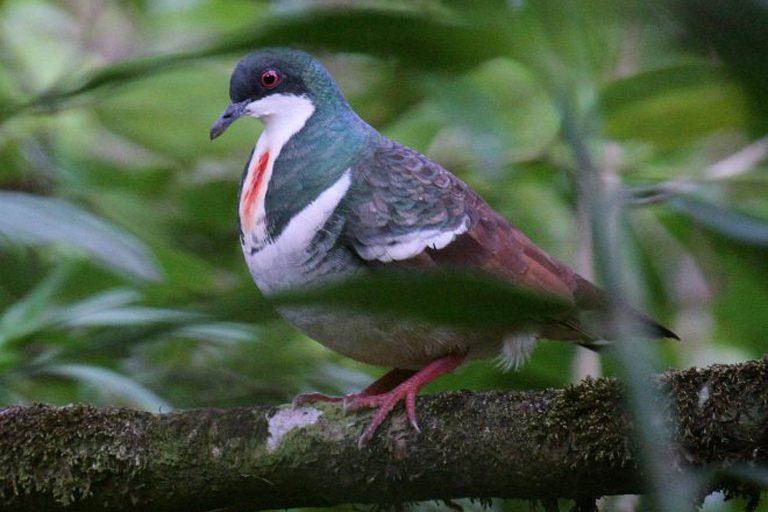 La paloma apuñalada de Negros (Gallicolumba keayi). Foto de Paul French vía orientalbirdimages.org