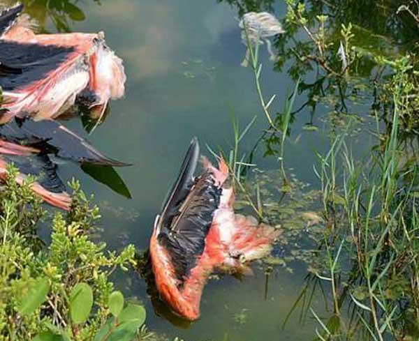 Los flamencos muertos en la Laguna de las Peonías. Imagen de Alexis Quintanillo / Foto Nubardo Coy.
