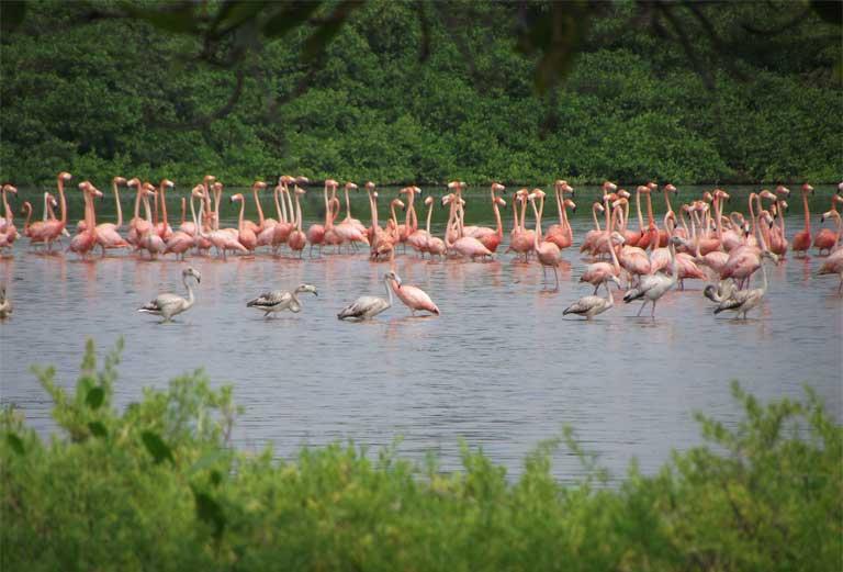 La Laguna de las Peonías es uno de los tres lugares donde viven los flamencos en Venezuela. Imagen de Alexis Quintanillo.
