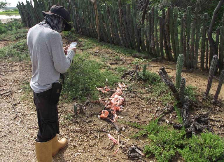 Documentando la muerte de los flamencos en Venezuela. Seguramente los que mataron a las aves lo hicieron para comérselas. Imagen de Alexis Quintanillo.