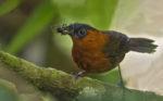 Cucarachero flautista - Chestnut-breasted Wren - Cyphorhinus thoracicus 02