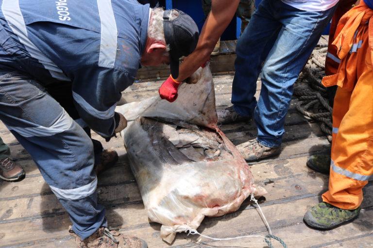 Aletas de tiburón al interior de sacos. Foto: Dirección de Parque Nacional Galápagos