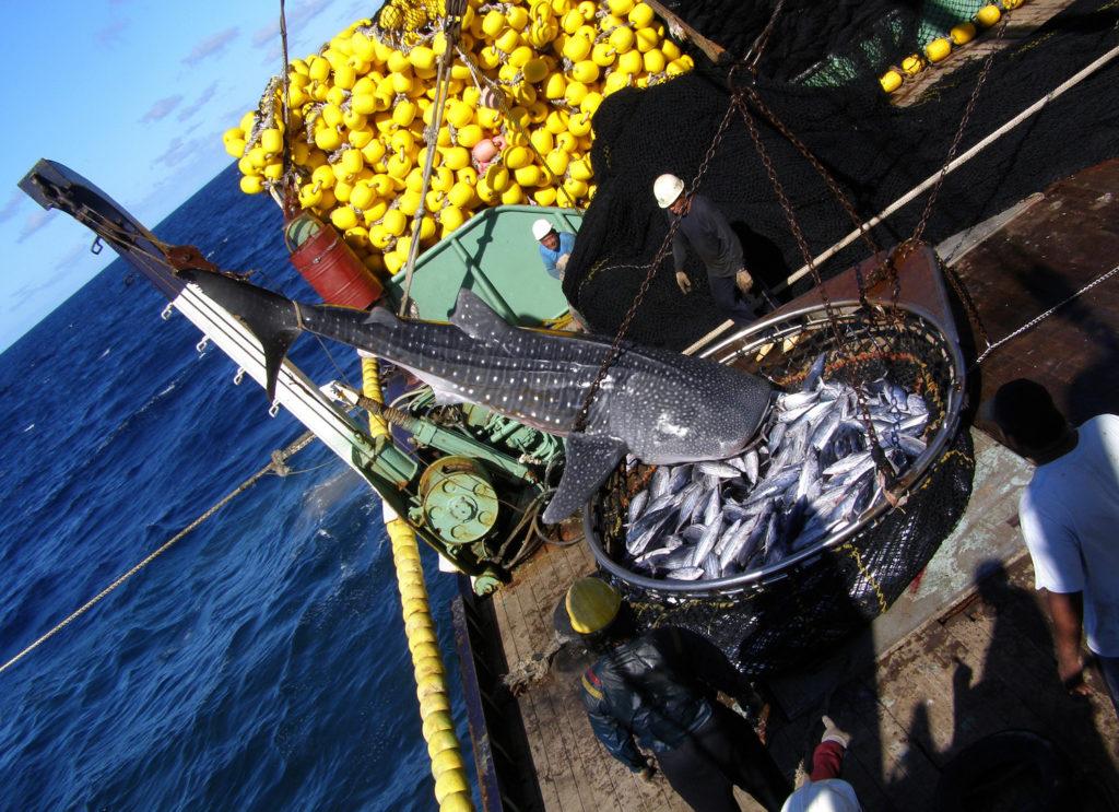 Según, Jonathan Green, las pesqueras chinas que trabajan en aguas oceánicas frente a Perú y Ecuador, están acabando con la especie. El problema es el nulo control que existe lejos de la costa. Créditos: Jonathan Green / Galapagos Whale Shark.