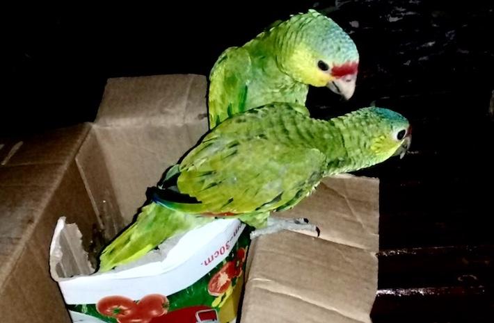 Loros decomisados este año en la zona de adyacencia, al sur de departamento de El Petén. Foto: Cortesía Fiscalía Ambiental de Guatemala.