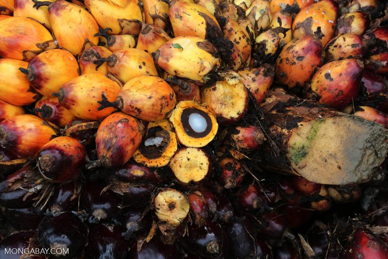 El aceite de palma se produce mediante el prensado del fruto de la palma aceitera, que crece en racimos. Foto: Mongabay