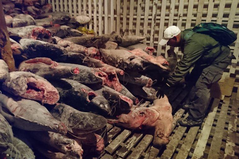Especies marinas congeladas en bodegas de barque pesquero industrial chino Fu Yuab Yu Leng 999. Esta embarcación fue capturada el lunes pasado cerca de la isla San Cristóbal. Foto: Dirección de Parque Nacional Galápagos