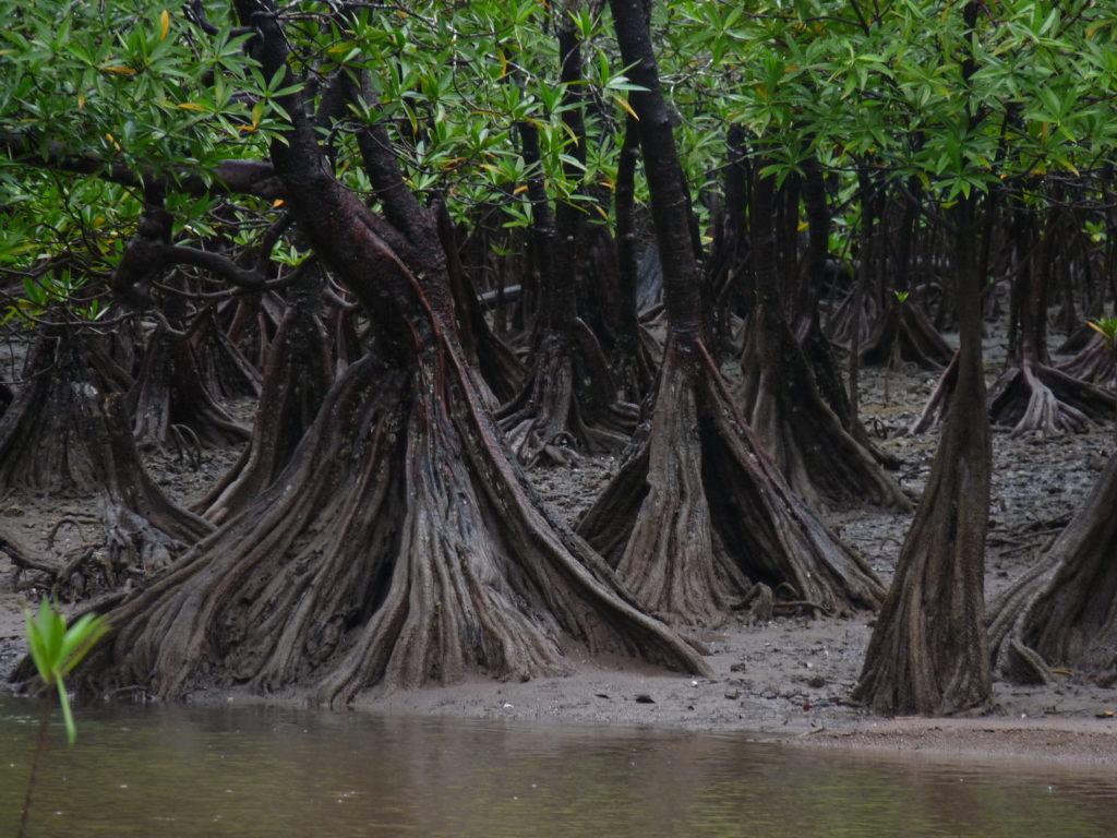Los ecosistemas de manglar en Colombia se ven muy afectados por la contaminación que los ríos arrojan en el mar. Foto: Juan Manuel Díaz.