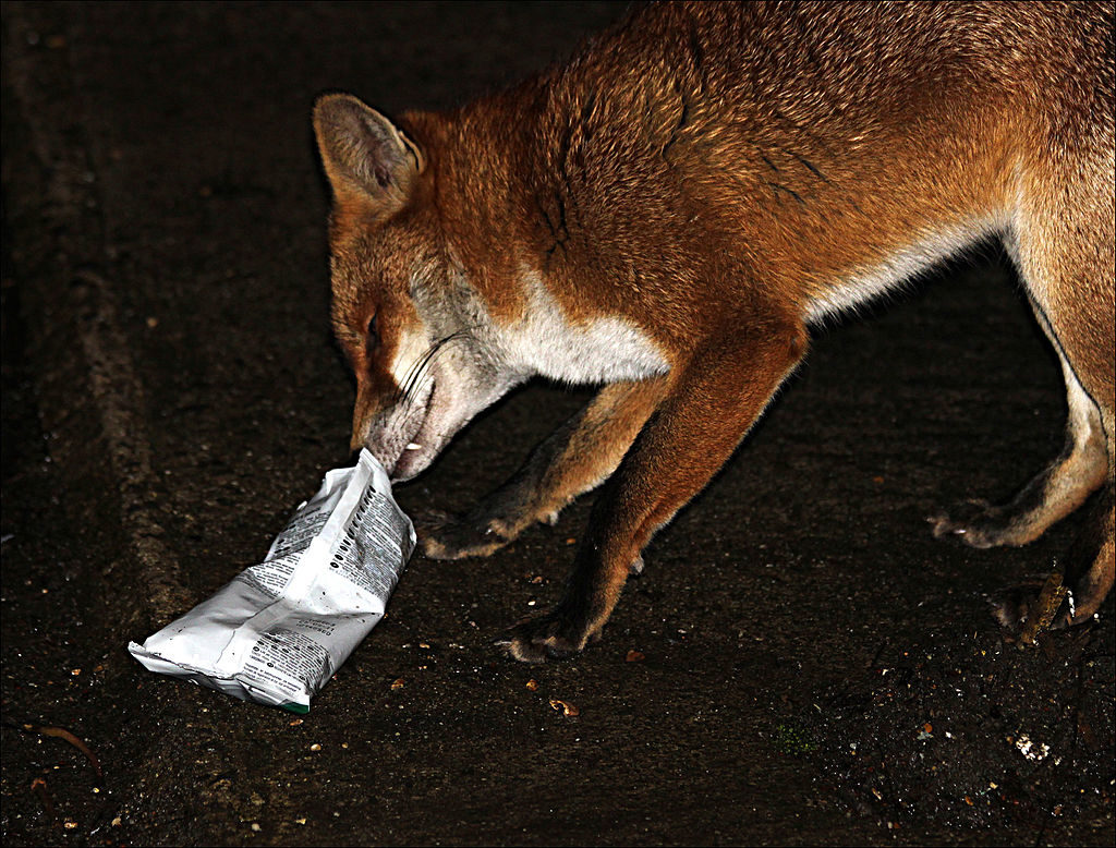 Los zorros rojos que hurgan en los desperdicios de la cocina o en los basurales son comunes en las comunidades del Trans-Himalaya y representan entre el 30 % y el 55 % de su dieta. Este zorro rojo fue visto en la aldea de Gete, en el valle de Spiti. Imagen de Linda Stanley / Wikimedia Commons