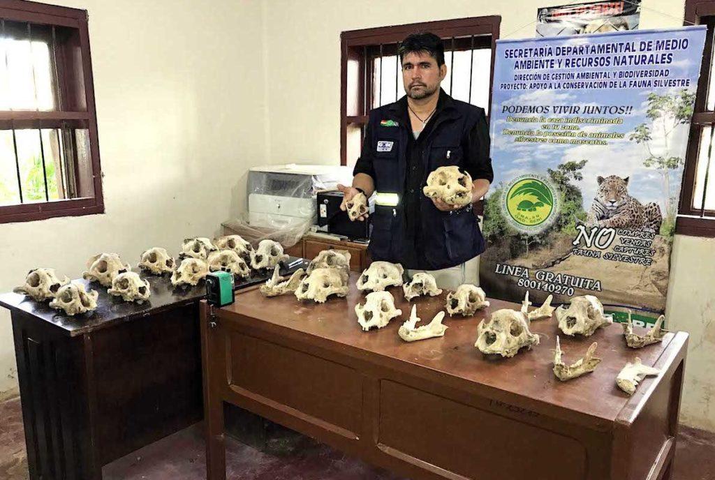 En los mercados de Trinidad constatamos la venta ilegal de cuatro cráneos y 26 colmillos de jaguar. Los colmillos se ofrecen a 100 dólares cada uno, aunque en la China pueden llegar a costar entre 1500 y 5000 dólares. Foto: Eduardo Franco Berton