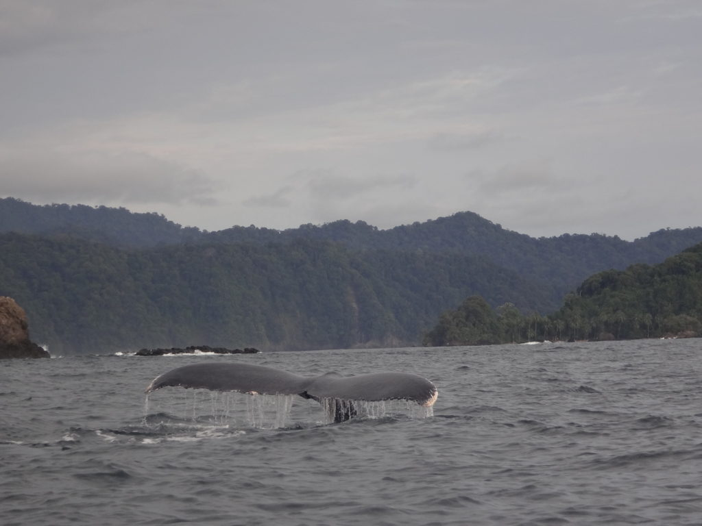 Avistamiento de ballenas en el departamento de Chocó, en el Pacífico colombiano. Foto: Mar Viva.