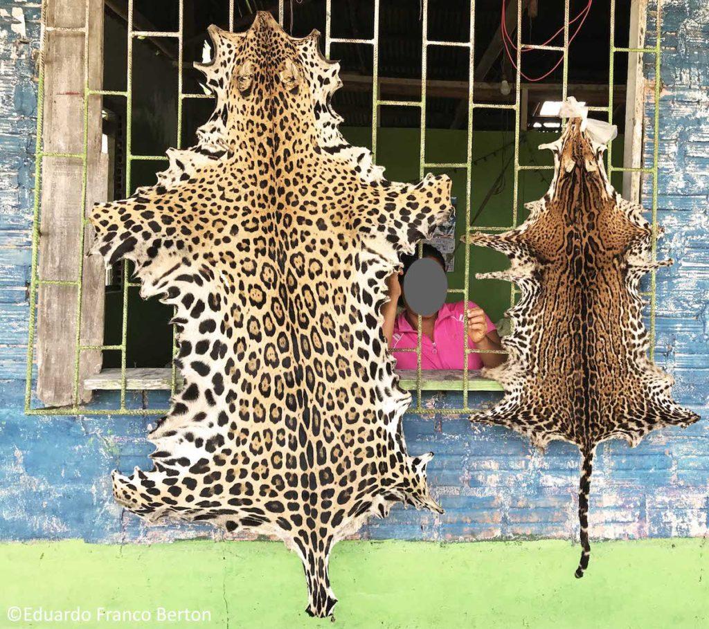 Gabriela, una vendedora de pieles y colmillos de jaguar en una comunidad cercana a Iquitos, que pidió mantener en reserva su identidad, explica a sus compradores como deben ocultar estos productos para evadir los controles de las autoridades Peruanas de Aduana. Foto: Eduardo Franco Berton