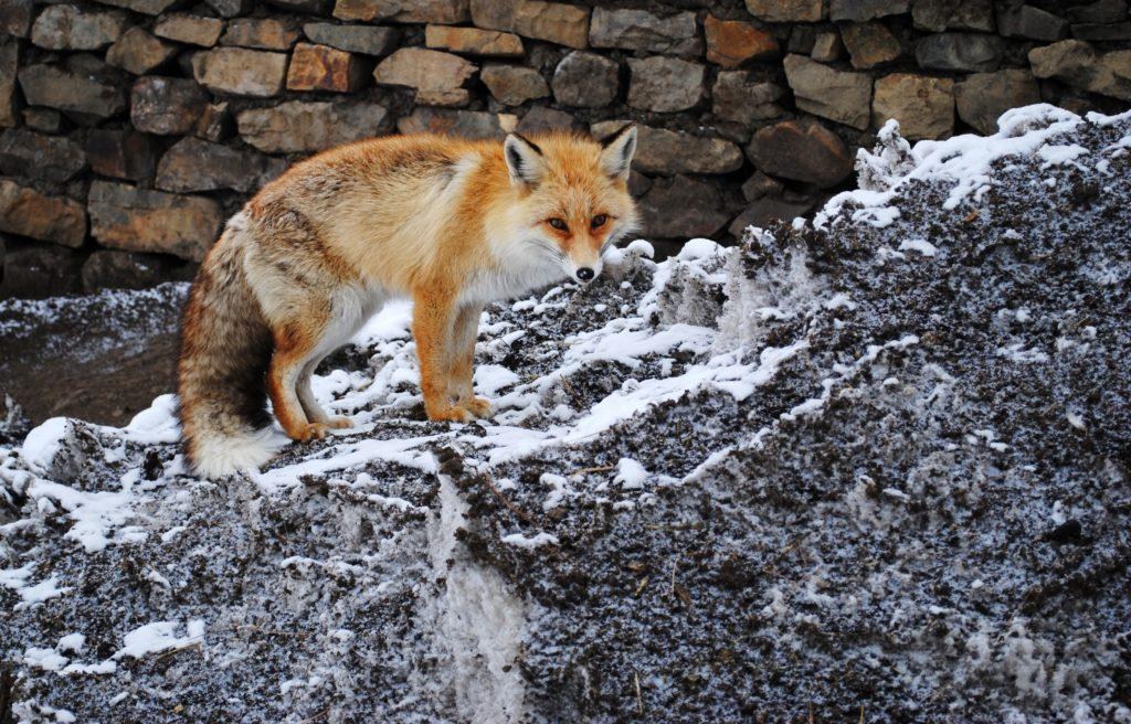 La creciente dependencia de los animales salvajes en los restos de comida podría afectar procesos ecológicos e incrementar los conflictos con los humanos. Imagen de Abhishek Ghoshal