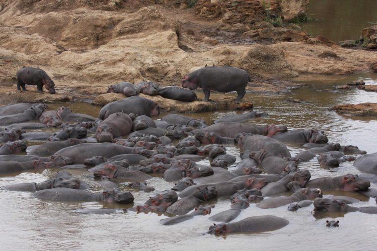 Un grupo de hipopótamos. Imagen de Christopher Dutton
