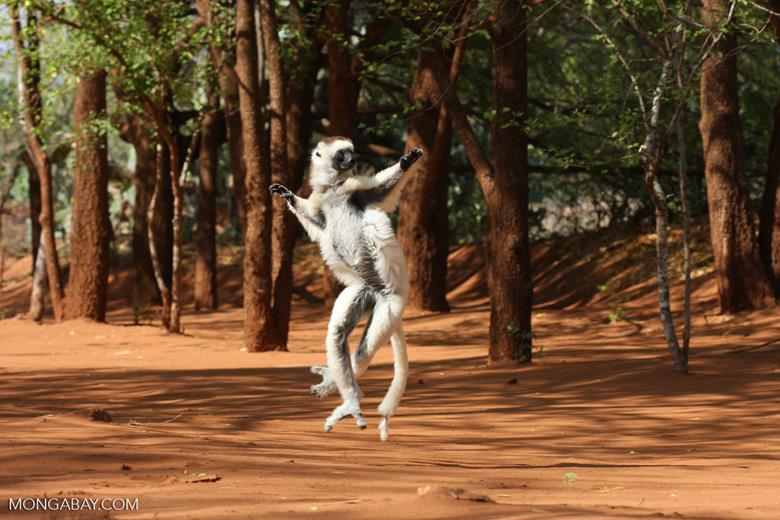 Un sifaca de Verreaux bailando. Imagen de Rhett A. Butler