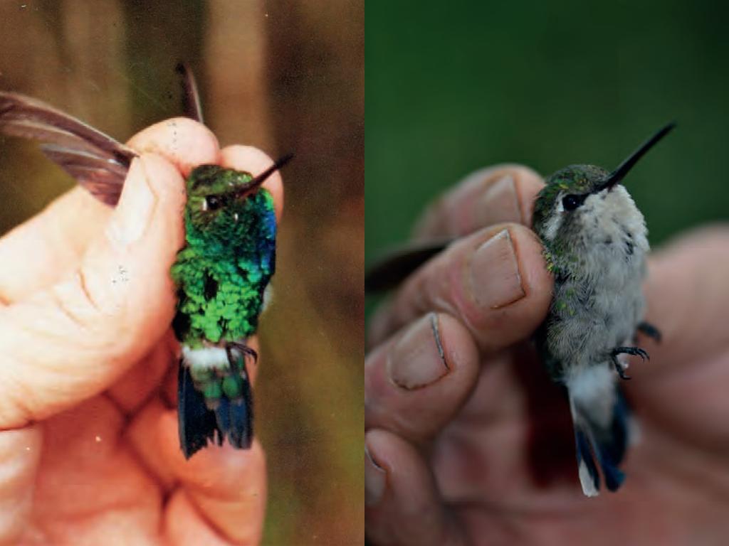 Izquierda: Macho del colibrí endémico de Chiribiquete, Chlorostilbon Olivaresi. Foto: Gary Stiles. Derecha: Hembra de Chlorostilbon Olivaresi. Foto: Fernando Trujillo.