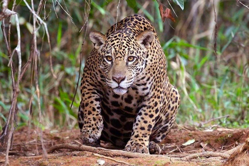 Los colmillos más grandes de jaguar pueden costar entre 250 y 300 soles (76 a 91 dólares), y los más pequeños entre 100 y 150 soles (30 a 45 dólares). Foto: Wikimedia Commons.