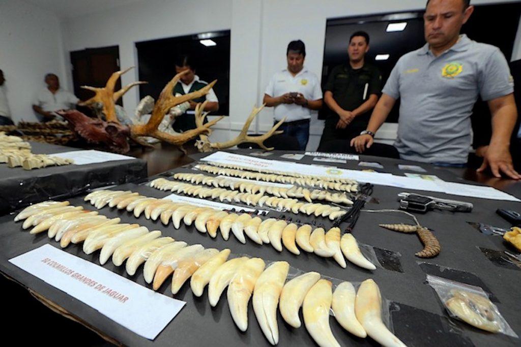 Algunas de las piezas incautadas a Li Ming y su esposa Yin Lan: 185 dientes de jaguar, pieles de diferentes felinos (3 cueros de jaguar, un chaleco de jaguar y un saco de leopardo africano), cascabeles de serpiente (2 unidades), cuernos de ciervos de pantano (dos piezas grandes) y garras de pejichi y de jaguar (dos piezas), entre otros. Foto: El Deber.