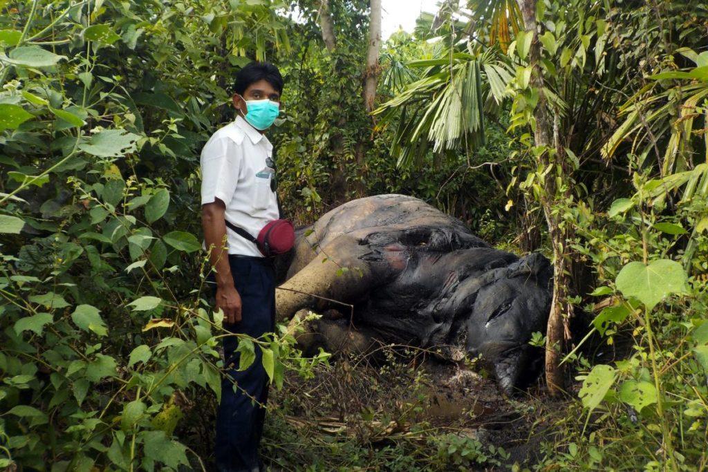 Myanmar ha visto un aumento en el número de elefantes muertos en la última década. Imagen cortesía de Klaus Reisinger/Compass Films