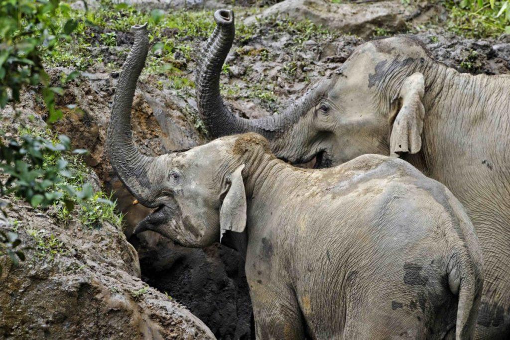 Un informe del grupo conservacionista del Reino Unido Elephant Family identificó la creciente demanda de productos de piel de elefante del enorme vecino de Myanmar, China, al que atribuye ser el motor de la caza furtiva de elefantes en el país del sudeste asiático. Imagen cortesía de Christy Williams/WWF-Myanmar