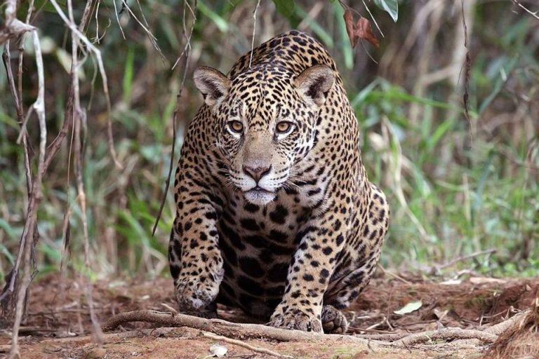 El jaguar es convertido en crema para la artritis y potenciador sexual. Sus colmillos son apetecidos y su carne a veces se utiliza para sopas. Sus huesos, incluso, se utilizan para hacer vino. Foto: Wikimedia Commons