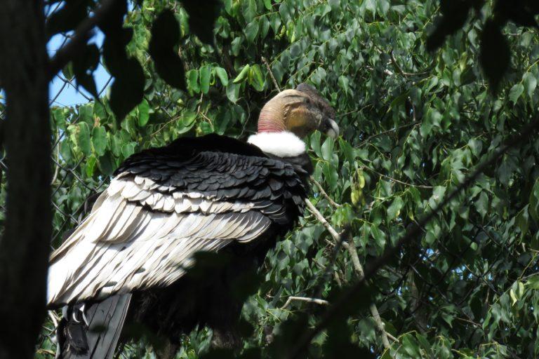 Cóndor andino (Vultur gryphus). Foto: María Fernanda Lizcano.