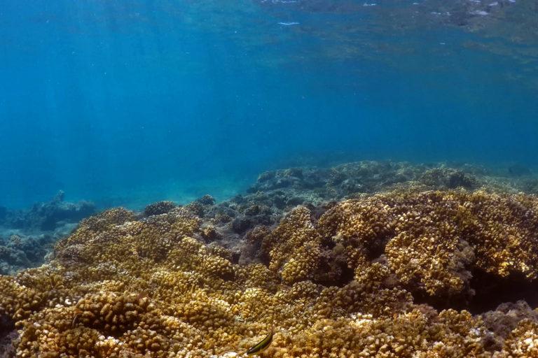 Corales del Pacífico Americano. Foto: David Paz García.