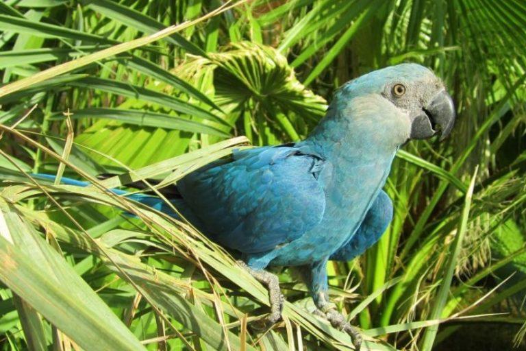 el guacamayo de Spix. Foto: Al Wabra Wildlife Preservation.