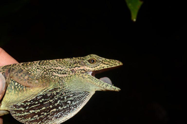 Aunque Anolis dracula y Anolis aequatorialis son lagartijas muy similares a simple vista, poseen bastantes diferencias morfológicas. Foto: Mario Yañez.