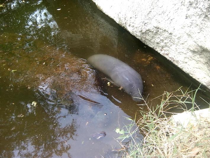 Cría de manatí en su estanque en el Zoológico de Bararida. Foto: Carlos Silva.