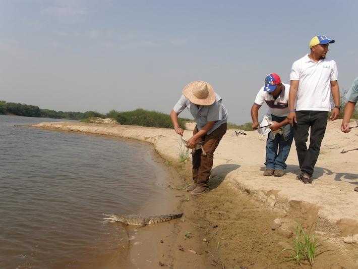 Liberación de caimanes en el Refugio de Fauna Silvestre de Santa María del Orinoco. La crisis en Venezuela ha provocado la migración de muchos profesionales. Foto: Fudeci.