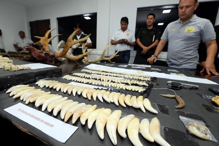 Se decomisaron 185 dientes de jaguar. Foto: El Deber.