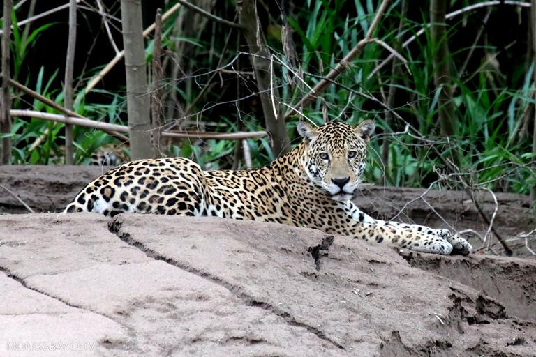 Las poblaciones de mamíferos y otras especies están desapareciendo a un ritmo acelerados. Fotógrafo: Rhett Butler