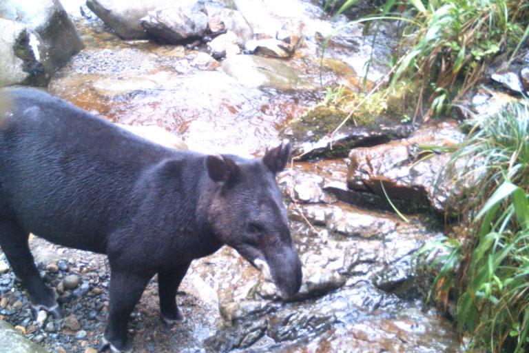 La danta de montaña suele ser una de las presas del jaguar y del puma. Foto: Corporación Autónoma Regional del Alto Magdalena (CAM).