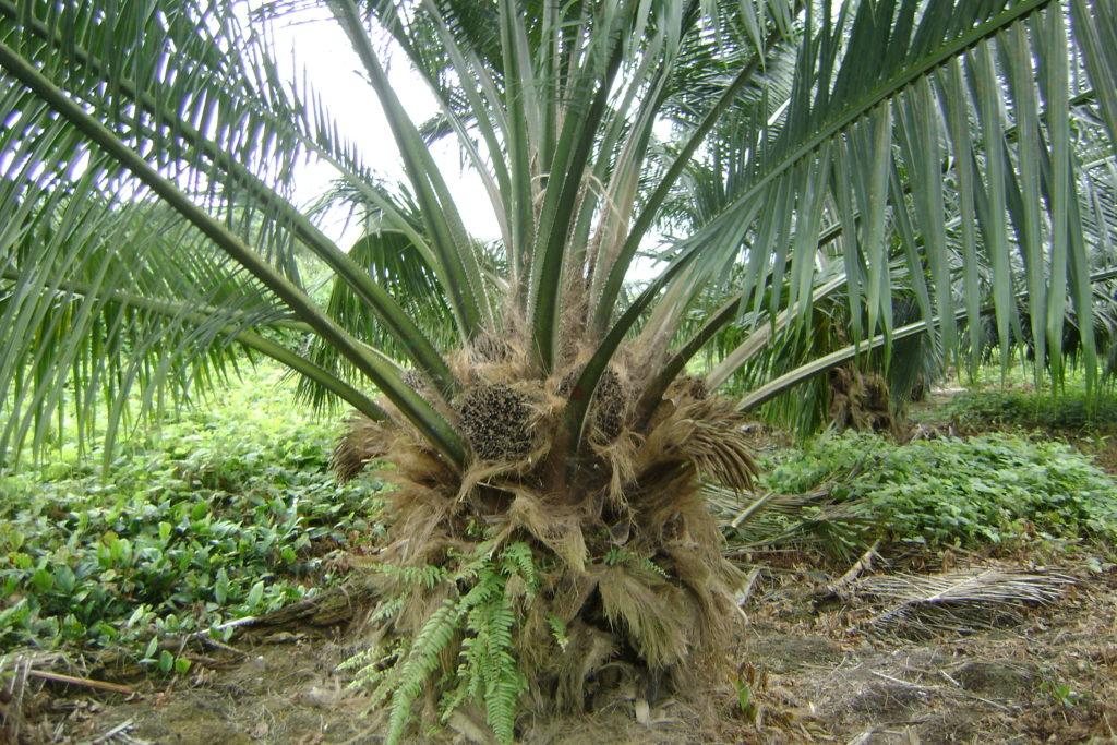 La palma africana (Elaeis guineensis) llegó ofreciendo nuevas opciones de vida a las comunidades a finales de la década de 1990. Cultivos tradicionales de la región, como el chontaduro y el cacao, empezaron a ocupar un segundo lugar. Foto: Palmasur