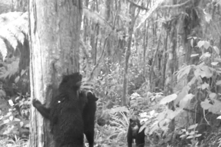 Los oseznos viven con su madre por lo menos hasta el primer año de vida. Foto: Corporación Autónoma Regional del Alto Magdalena (CAM).